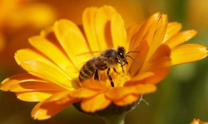 Dispariţia albinelor, care asigură polenizarea, riscă să fie catastrofală pentru om.