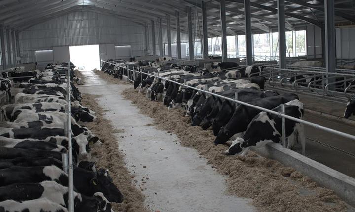Ferma de vaci în Slobozia