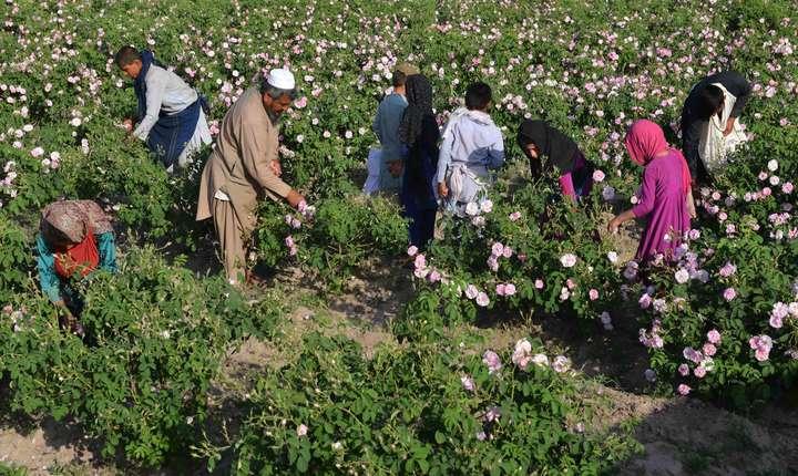 Recoltarea unei parcele cu trandafiri in Afganistan
