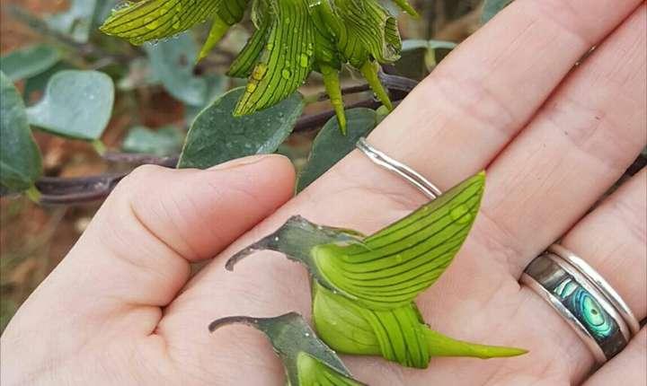 Crotalaria cunninghamii, originară din nordul Australiei (Sursa foto: reddit.com/OctopusPrime)