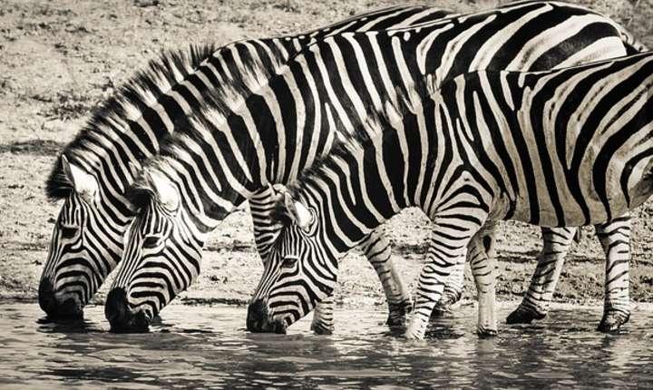 O nouă teorie surprinzătoare privind dungile zebrelor (Sursa foto: pixabay)