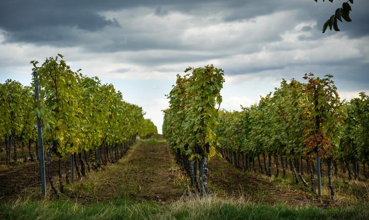 În zona Panciu din Vrancea, Daniel Guzu are circa 120 de hectare cu viţă-de-vie