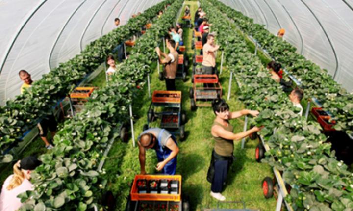 Lucrători sezonieri în agricultură
