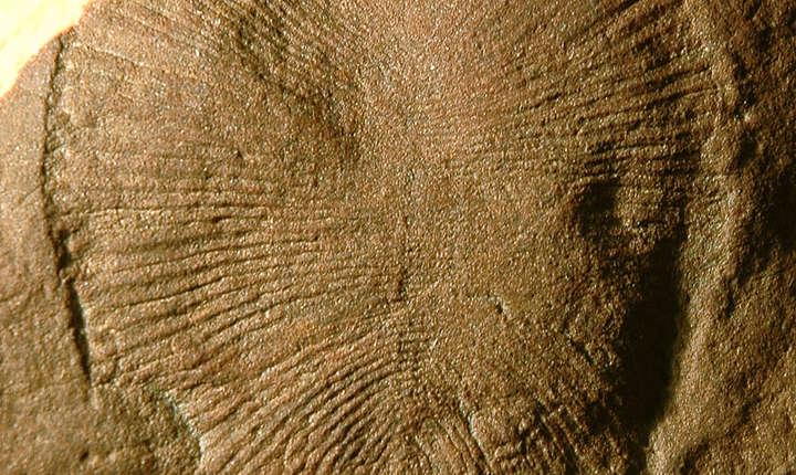 Dickinsonia e cel mai vechi animal de pe Terra și a trăit în urmă cu 558 de milioane de ani, susțin cercetătorii australieni