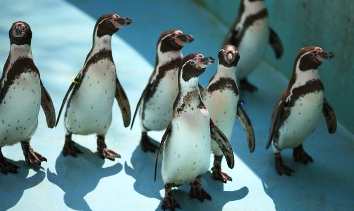 Pinguini Humboldt
