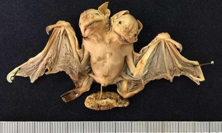 Lilieci siamezi, descoperiţi în Brazilia (Foto: Dr. Nadja L. Pinheiro via site LiveScience)