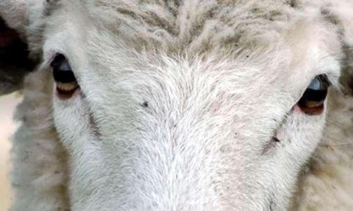 România, arătată cu degetul pentru condiţiile în care sunt transportate animalele vii în Africa şi Orientul Mijlociu (Sursa foto: site Animals International)