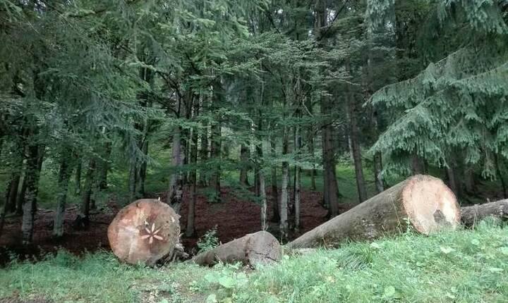 Greenpeace trage un nou semnal de alarmă privind tăierile ilegale din păduri (Foto: RFI/Cosmin Ruscior/ilustraţie)