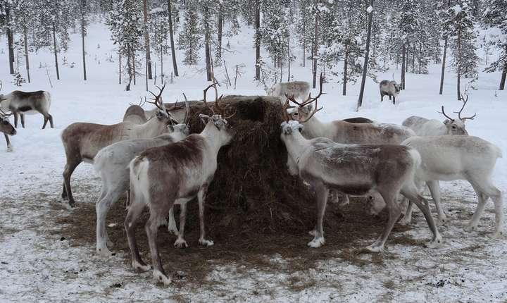 Schimbările climatice afectează Laponia (Sursa foto: pixabay)