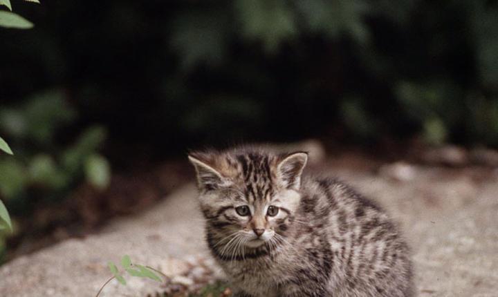 Pui de pisică sălbatică (Sursa foto: site WWF România/Fritz Polking, WWF)
