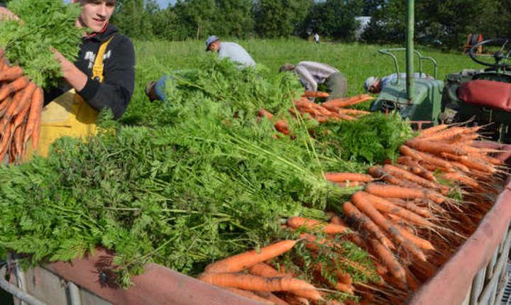 Mulți dintre românii plecați în străinătate muncesc în agricultură