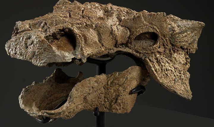 Craniul fosilizat al lui Zuul crurivastator (Foto: Brian Boyle/Royal Ontario Museum)