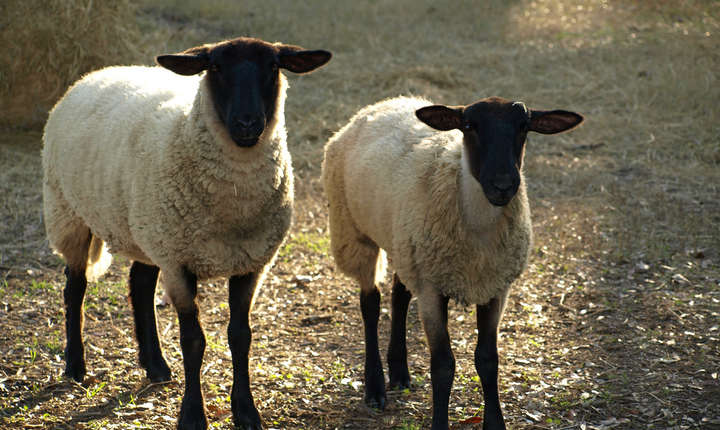 În programul de susținere a crescătorilor de ovine s-au înscris până acum peste 32.000 de beneficiari