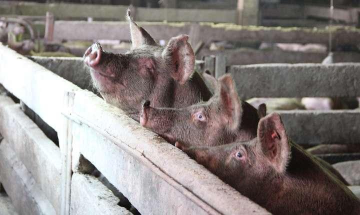 Cel mai grav caz este confirmarea pestei porcine africane într-o exploatație industrială din Tulcea, cu 45.000 de capete