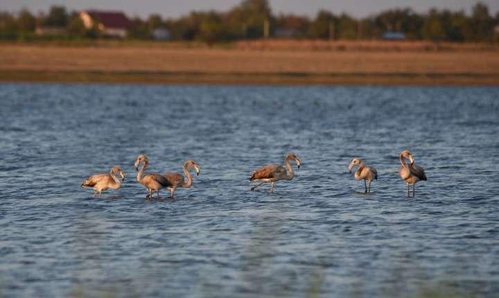 Păsări flamingo, în Ialomiţa