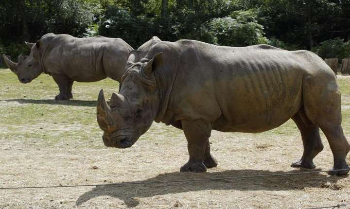 Rinocerul alb pe nume Vince a fost ucis la zoo-ul de la Thoiry dupà care i s-a tàiat cornul