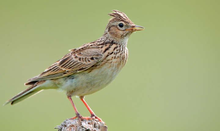 Mii de păsări cântătoare, braconate anual în România