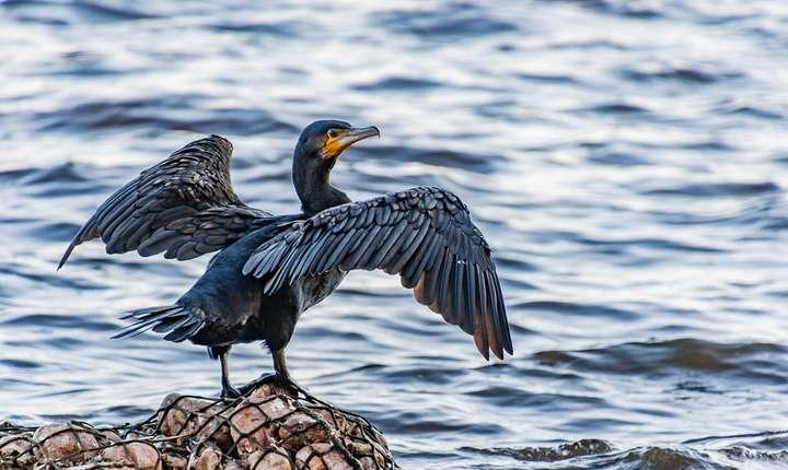 Are România prea mulţi cormorani? (Sursa foto: pixabay)