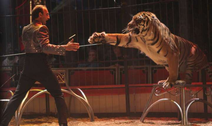 Unul din tigri circului Bormann