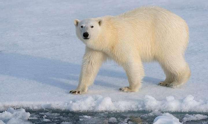 Urs polar pe o banchizà în nordul Norvegiei