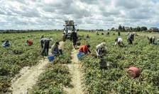 Peste 7.000 de românce ar fi exploatate în fermele din zonele sudice ale Italiei (Sicilia și Calabria)