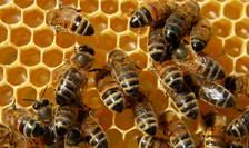 Programul de susţinere a apiculturii, finanţat din fonduri europene şi naţionale, e singura formă de sprijin a apicultorilor