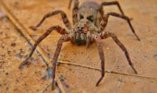 Păianjenul lup Gladicosa gulosa