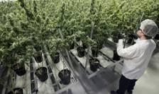 Canada a devenit a doua tara din lume ce legalizeaza canabisul în scop recreativ, la cinci ani dupa Uruguay.