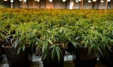 La initiativa unui grup de deputati, Adunarea nationalà francezà a pus online un chestionar privind consumul de cannabis în Franta.
