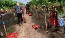 Fermă de căpșuni în Marea Britanie