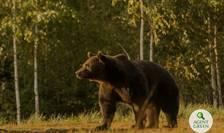 Ursul Arthur a fost vânat de un prinț din Austria, în județul Covasna (Sursa foto: Agent Green)