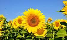 Agricultura românească a avut producții record la o serie de culturi: grâu, porumb, orz și floarea soarelui.