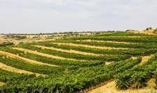 Viile din Prahova au fost mai puțin afectate de seceta îndelungată