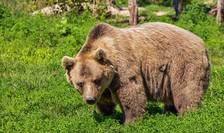 OUG care permite împușcarea urșilor agresivi a fost aprobată (Sursa foto: pixabay)