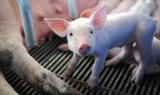 Ministrul Agriculturii din Franta interzice castrarea pe viu a purcelusilor.