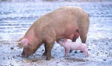 La ora actuală în România sunt active peste 400 de focare de pestă porcină africană
