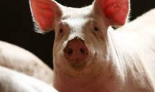 Pretul carnii de porc a crescut foarte mult  în China dupa ce milioane animale au fost sacrificate ca urmare a pestei porcine africane.jpg