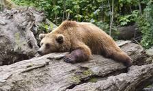 OUG privind urșii a fost aprobată de Guvern (Sursa foto: pixabay-ilustrație)