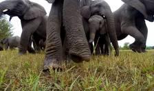 Elefanţi intrigaţi de prezenţa unei camere GoPro