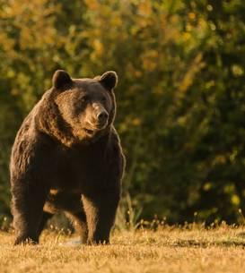 Ursul Arthur, împușcat de un prinț, în Covasna (Sursa foto: Agent Green)