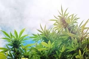Franta da unda verde utilizarii canabisului ca tratament pentru pacientii atinsi de scleroza în placi, tulburări ale sistemului nervos, epilepsie.