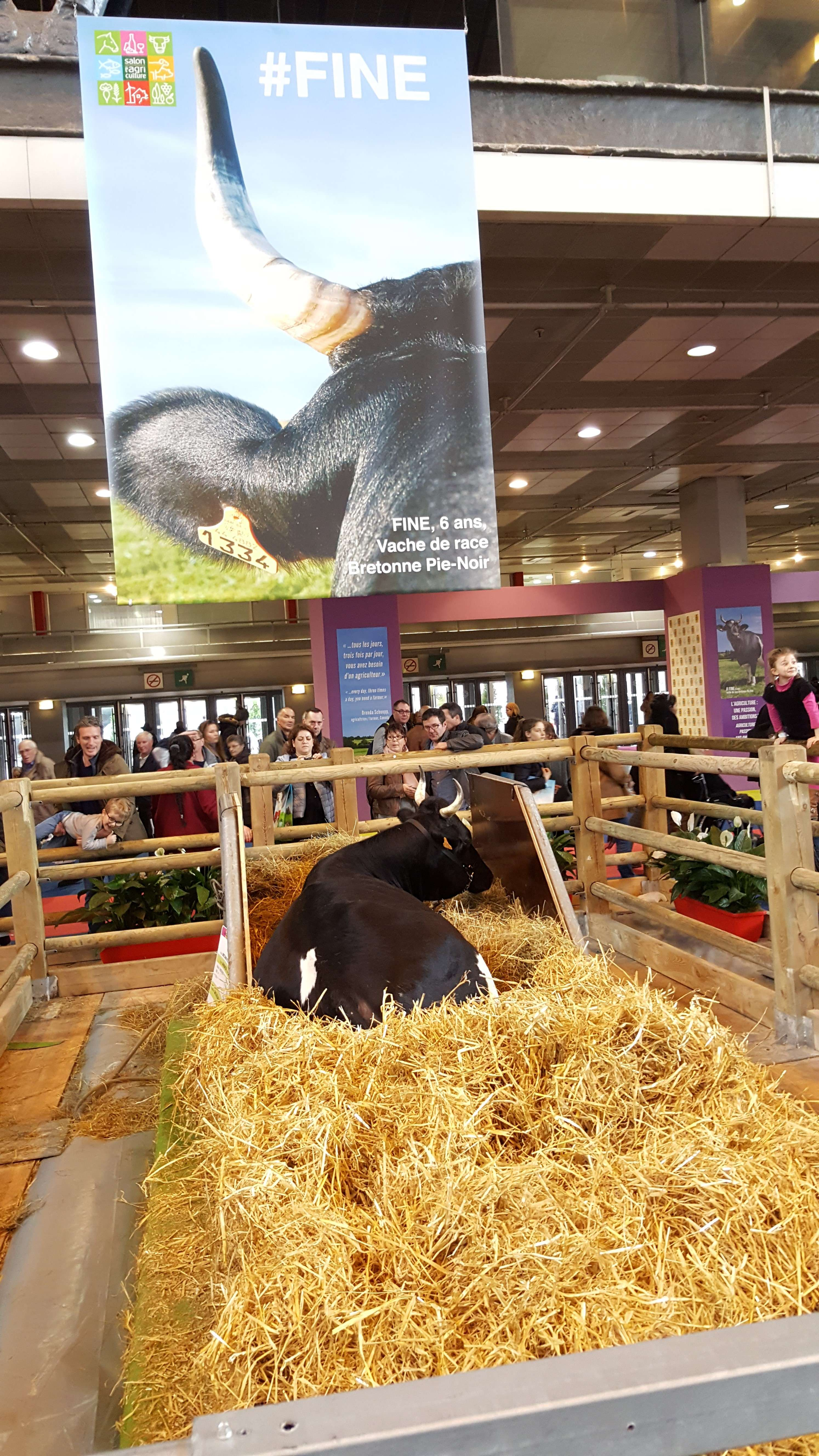 Fine, o vacà de 6 ani, este vedeta din acest an a salonului agriculturii