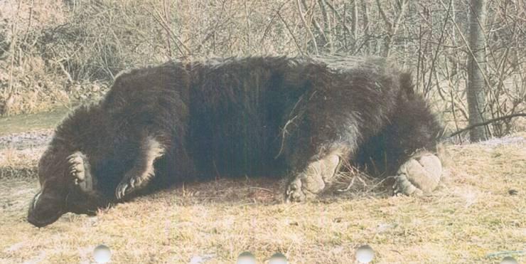 Cadavrul ursului Arthur (Sursa foto: Agent Green)