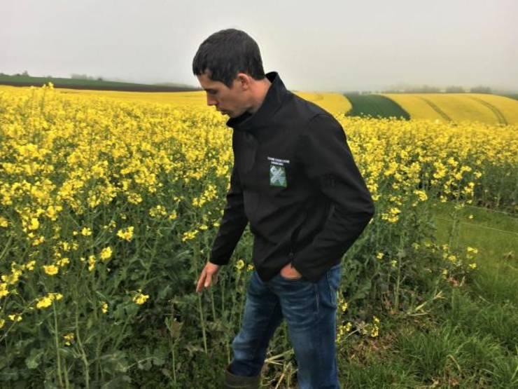 Aceasta parcela de rapita nu a fost tratata cu niciun produs chimic dar nici mecanic, explica Alain Majeurs de la Camera de Agricultura din Luxemburg.