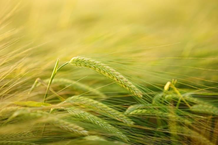 Marile ferme românești sunt competitive la nivel european. Dar, restul agriculturii este mult sub nivelul mediu de productivitate european.