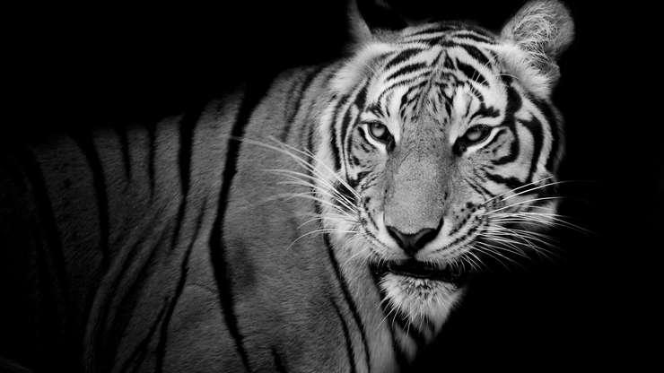 Braconajul si traficul ilegal au redus considerabil numarul tigrilor.