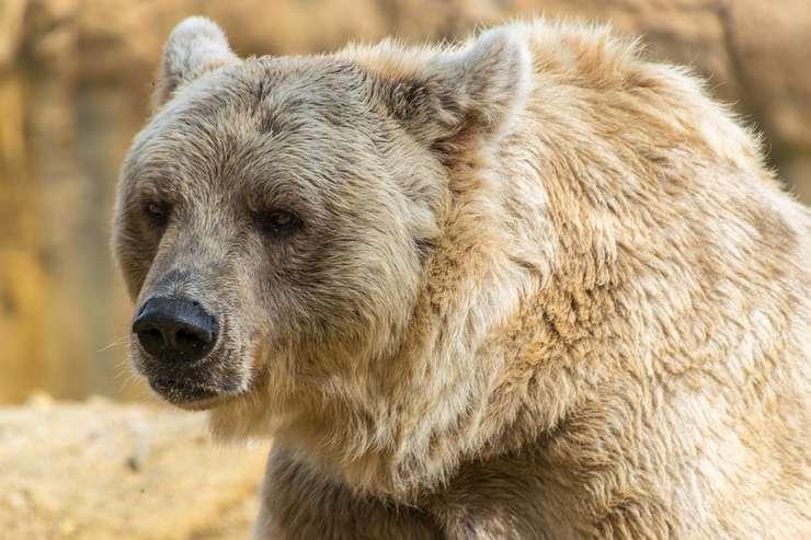 Atacurile urşilor mobilizează autorităţile. Cu ce efecte? (Sursa foto: pixabay)