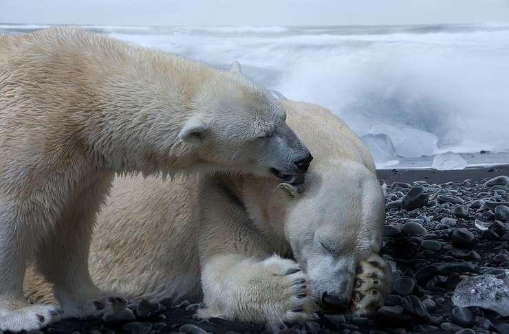 Urşii polari, printre animalele afectate de topirea gheţurilor (Sursa foto: www.pixabay.com)