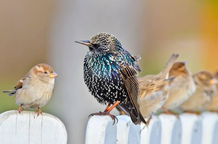 Graurul este un extraordinar imitator, putând reproduce sunetele altor păsări, dar și mieunatul pisicilor, orăcăitul broaștelor sau chiar alarmele mașinilor