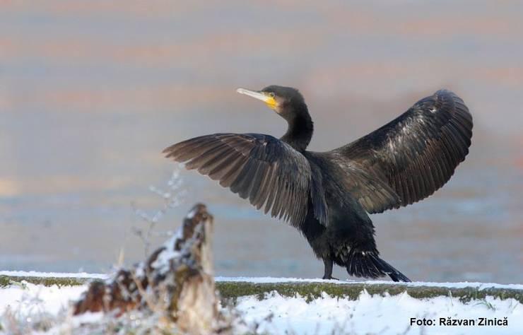 Deputații vor să permită împușcarea cormoranilor (Sursa foto: SOR)